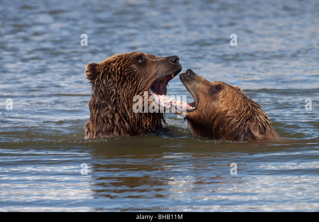 CAPTIVE Grizzly bears playing in the water at the Alaska Wildlife Conservation Center, Southcentral Alaska, - Stock Image