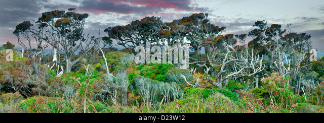Dinosaur trees in New Zealand - Stock Image