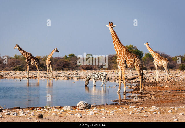 Group of wild animals near a waterhole in the Etosha National Park, in Namibia; Concept for travel in Africa and - Stock Image
