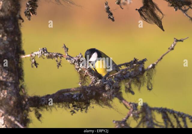Great Tit, Parus major sitting in an old spruce with lichen - Stock-Bilder