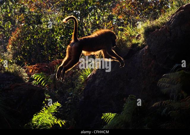 Guinea Baboon jumping, Cabarceno, Spain - Stock Image