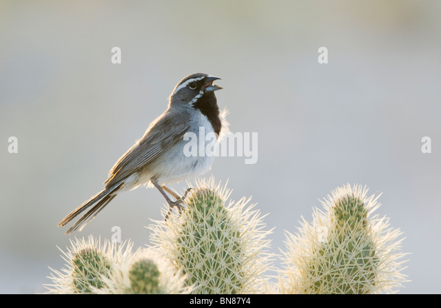 Black throated Sparrow singing on Cholla Cactus - Stock-Bilder