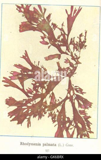 Rhodymenia stock photos rhodymenia stock images alamy for Algues rouges piscine