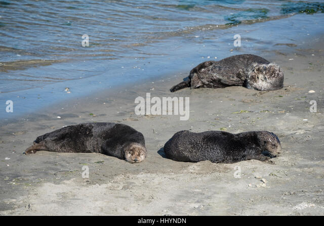 California sea otters or southern sea otters, Enhydra lutris nereis, basking on the beach, Elkhorn Slough, California, - Stock Image