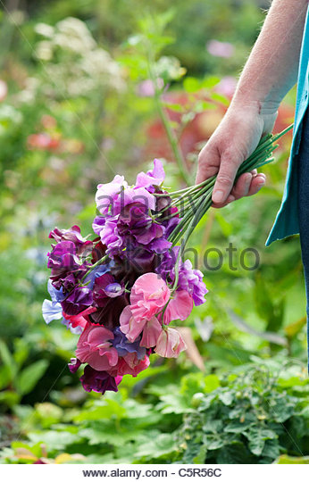Female Gardener holding (Lathyrus odoratus) cut Sweet pea flowers - Stock-Bilder