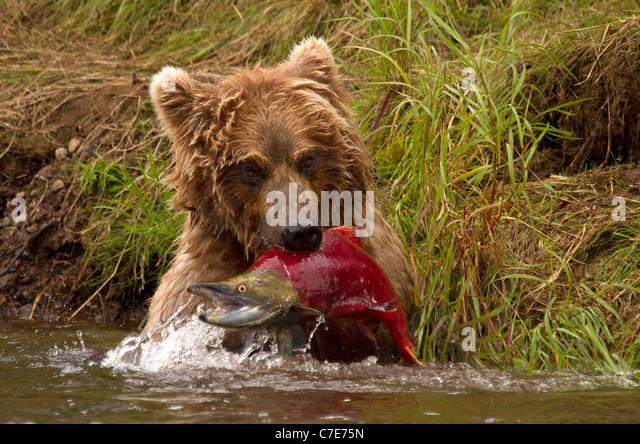 Brown Bear cub, Ursus Arctos snatches a fish - Stock Image