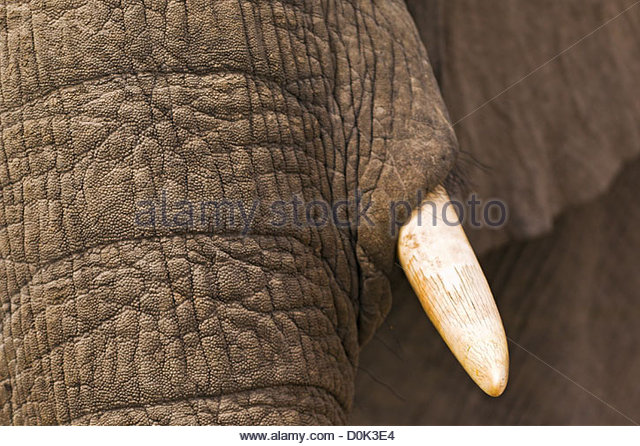 A close-up of an elephant playing in the mud in the Okavango Delta of Botswana. - Stock Image
