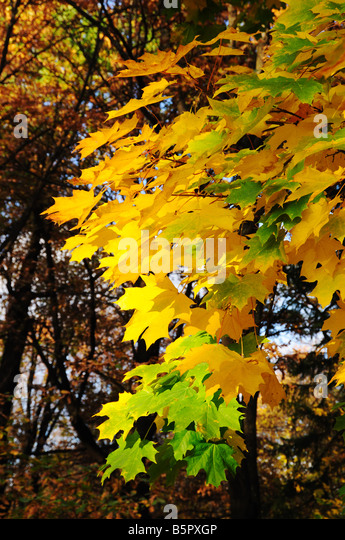Multi coloured maple leaves in autumn park - Stock Image