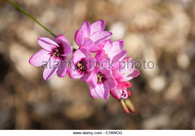 Schizostylis stock photos schizostylis stock images alamy for 7194 garden pond