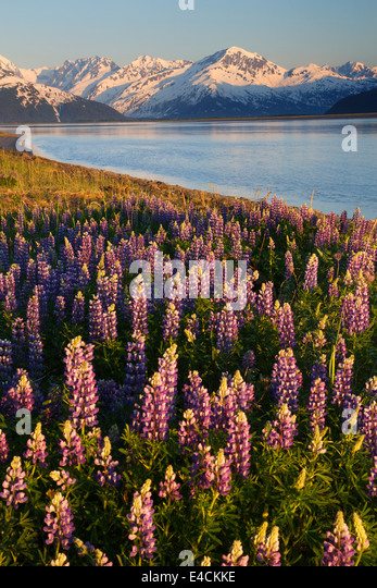 A field of lupine along Turnagain Arm, Chugach National Forest, Alaska. - Stock Image