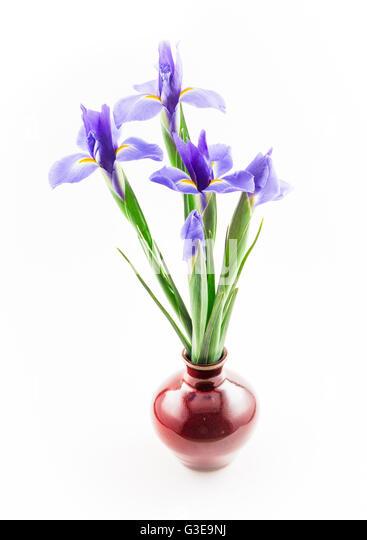 Blue Iris, Red Vase - Stock Image