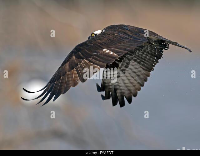 Osprey Diving for Fish - Stock-Bilder