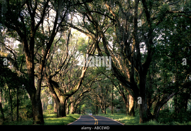 Tallahassee Florida canopy road large old oak trees cover deserted paved highway spanish moss hangs from oak tree - Stock Image