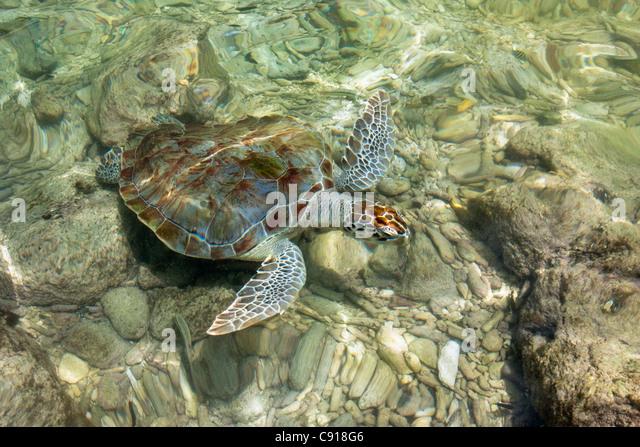 Curacao, Caribbean island, Lagun Bay, Hawksbill Sea Turtle ( Eretmochelys imbricata ). - Stock Image