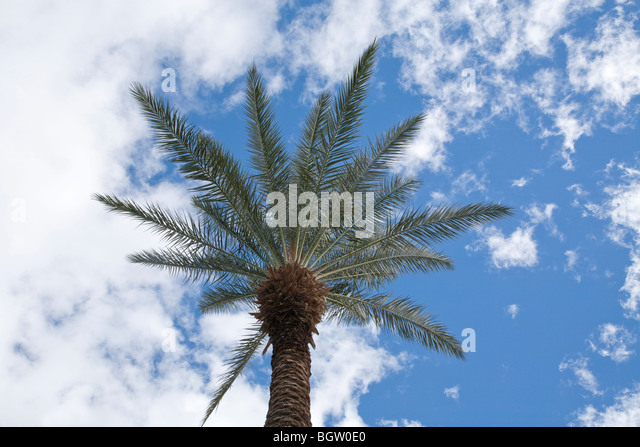View of palm tree looking up from ground level with the palm tree outlined against the dramatic blue sky with white - Stock Image