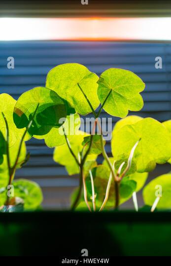 Tropaeolum majus flower seedlings under an LED grow light. - Stock Image