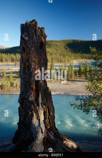 a tree stump by the Athabasca River nr Jasper, Jasper National Park, Alberta, Canada - Stock Image