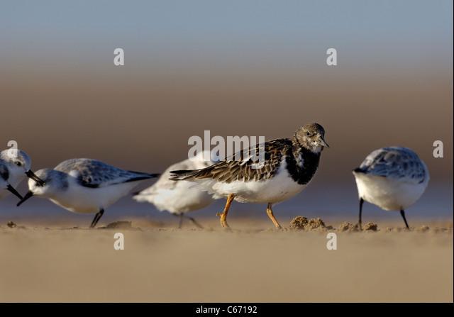 TURNSTONE Arenaria interpres An adult foraging among sanderlings. January. Lincolnshire, UK Photographer.Andrew - Stock-Bilder
