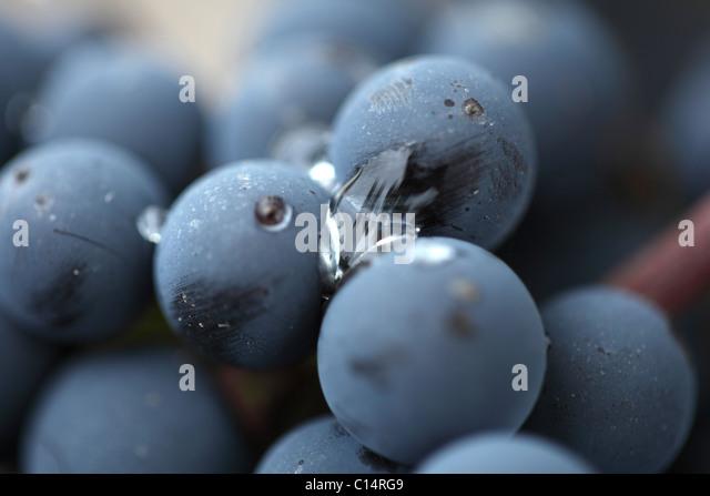 Red Cabernet Sauvignon grapes in Bordeaux - Stock Image