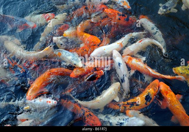 Koi karpfen stock photos koi karpfen stock images alamy for Feeding koi carp