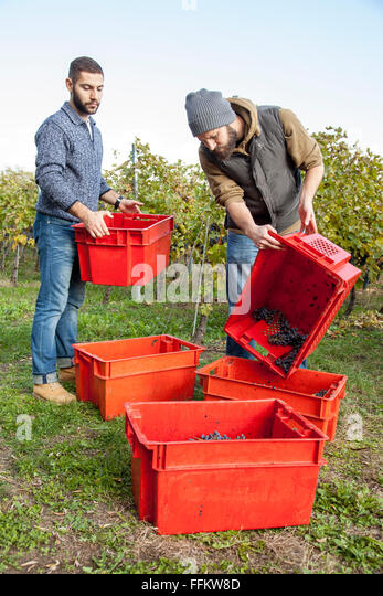 Two men unloading grapes into crates in vineyard - Stock Image
