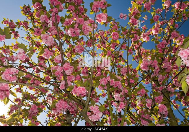Japon stock photos japon stock images alamy for Fleurs du printemps