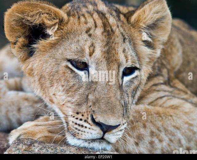 Portrait of a Lion cub, South Africa - Stock Image