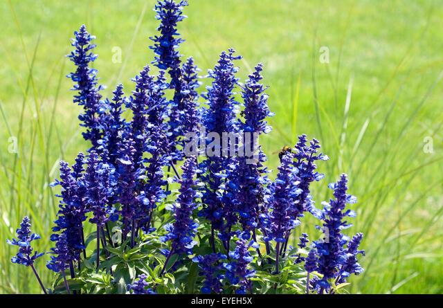 blaue bl ten stock photos blaue bl ten stock images alamy. Black Bedroom Furniture Sets. Home Design Ideas