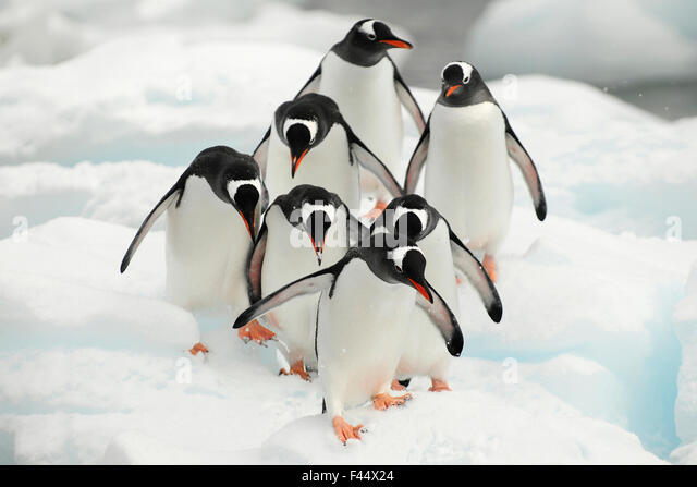 Gentoo penguins (Pygoscelis papua) group walking along snow, Cuverville Island. Antarctic Peninsula, Antarctica - Stock Image