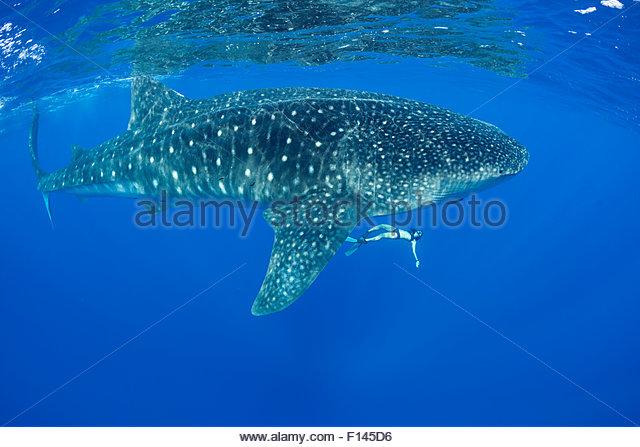 Mami LeMaster free-diving with Whale shark (Rhincodon typus) Kona Coast, Hawaii, Hawaiian Islands. Central Pacific - Stock Image