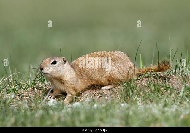 Wyoming Ground Squirrel - Stock Image
