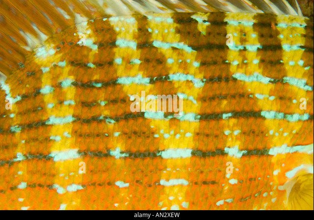 Skin details of chinamanfish Symphorus nematophorus Komodo National Park Indonesia - Stock Image