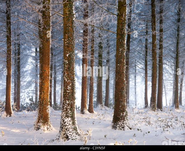 Snow covered pine woodland, Morchard Wood, Morchard Bishop, Devon, England. Winter (December) 2010. - Stock Image