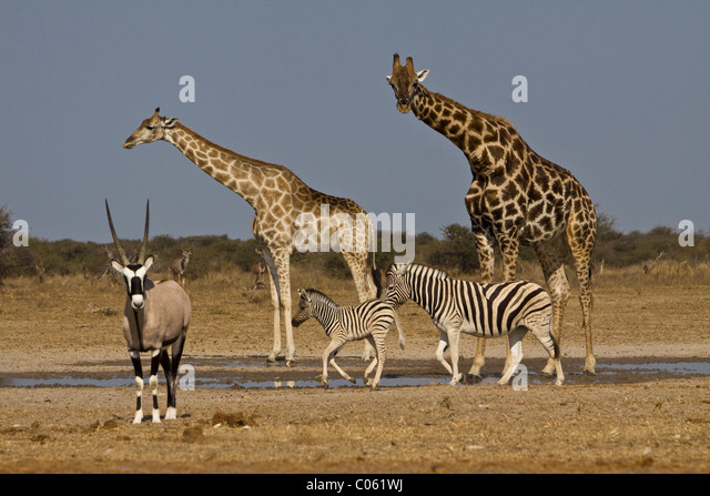 Giraffe, Gemsbok and Zebra at waterhole, Etosha National Park, Namibia. - Stock Image