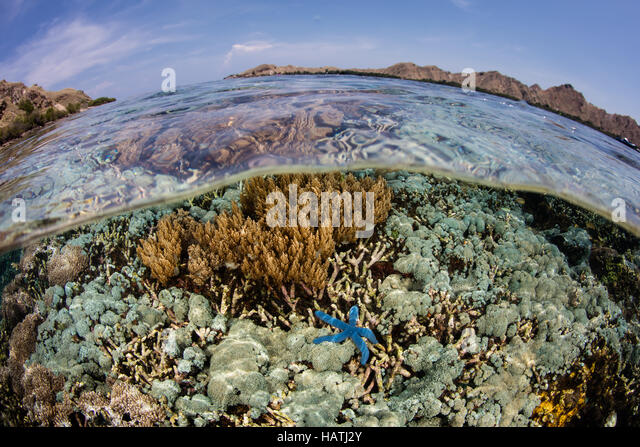 A healthy set of corals grows in shallow water in Komodo National Park. This region is known for its high marine - Stock Image