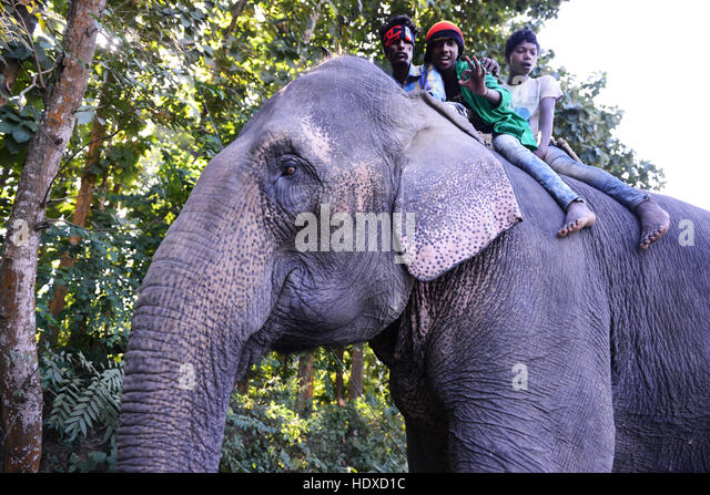A Mahout on his elephant in Assam, India. - Stock Image