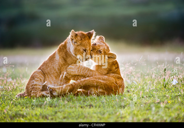 African Lion cubs around 4 month old cub playing together, Big Marsh, Ngorongoro, Tanzania - Stock Image