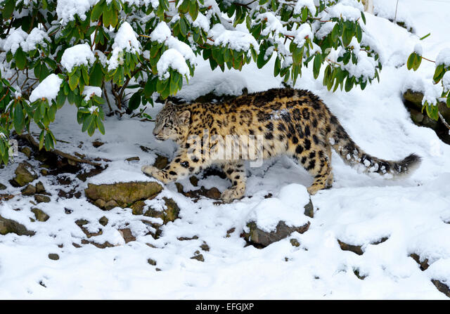 Snow Leopard (Panthera uncia), juvenile, walking on snow-covered rock, captive, Switzerland - Stock Image