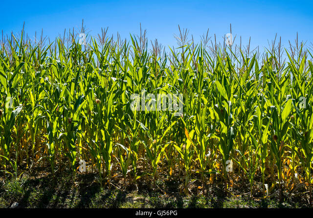 Sunlight streaming through Maize / Sweet Corn leaves - France. - Stock Image