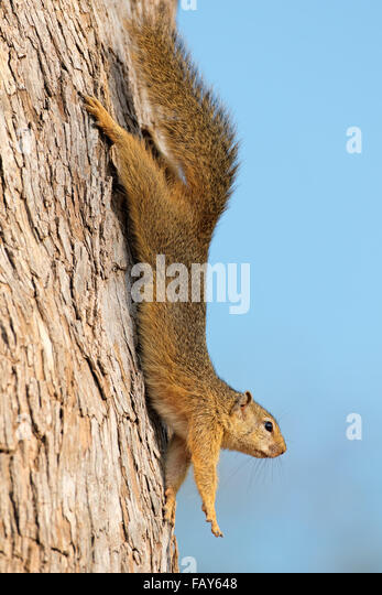 Tree squirrel (Paraxerus cepapi) sitting in a tree, Kruger National Park, South Africa - Stock Image