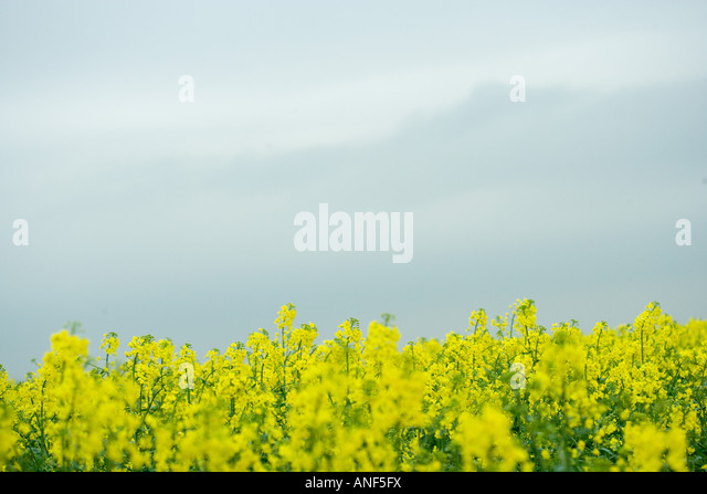 Field of canola - Stock Image