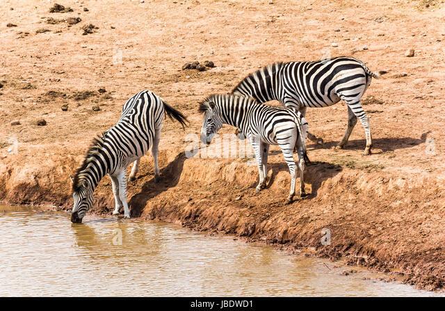 Zebras drinking at the water hole, South Africa - Stock Image