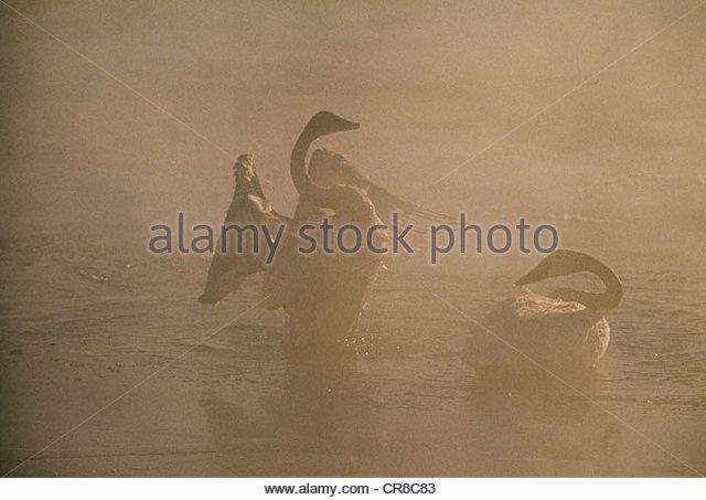 Trumpeter swans, Jackson Hole, Wyoming - Stock Image