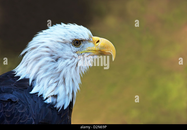 Captive bald eagle (Haliaeetus leucocephalus), Grizzly and Wolf Discovery Centre, West Yellowstone, Montana, USA - Stock Image