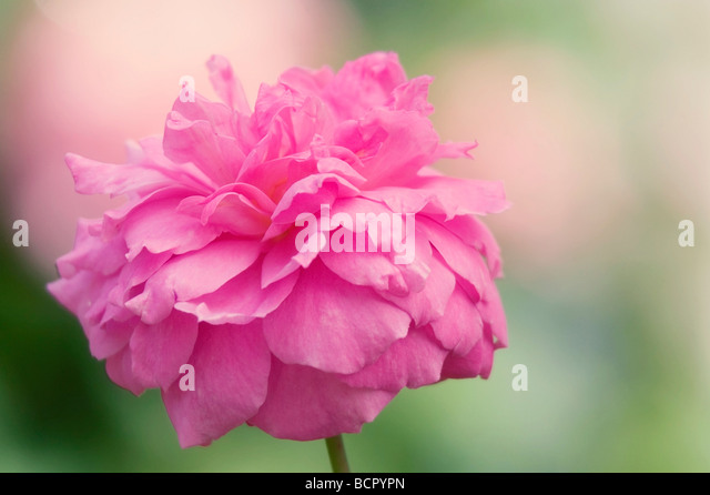 Rosa 'Mayflower' Rose - Stock Image