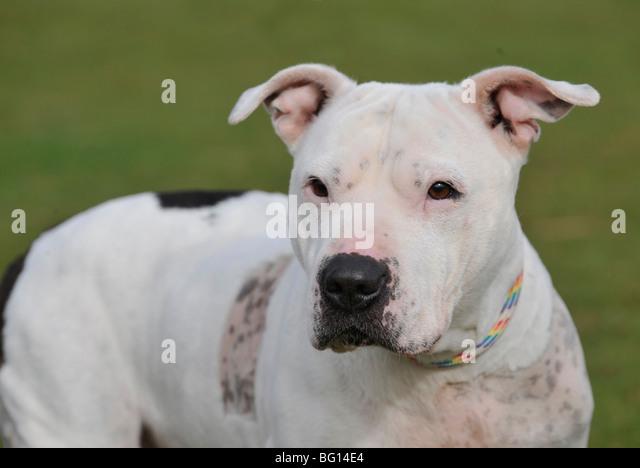 american pitbull terrier type dog - Stock-Bilder