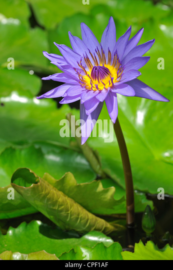 Tropical water lily Nymphaea Director G.T Moore in the National Botanic Garden of Belgium at Meise - Stock Image