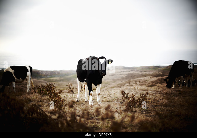 USA Three cows on grazing land - Stock Image