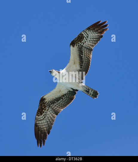 Soaring Osprey Against A Blue Sky - Stock Image