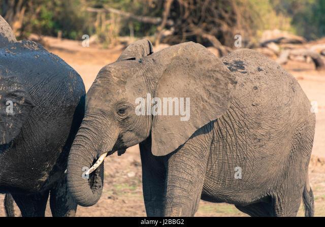 Botswana. Chobe National Park. Elephants (Loxodonta africana) drinking in the Chobe River. - Stock-Bilder